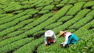 Fluor w herbacie może powodować choroby kości