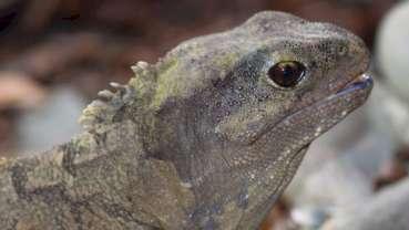 Comment un reptile de Nouvelle-Zélande peut-il nous parler de fausses dents ?