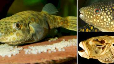 Tooth replacement in puffer fish may advance dental therapies