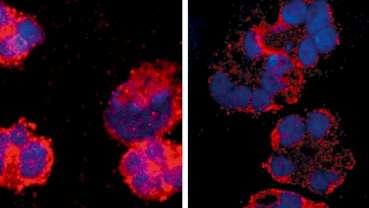 Bakterien können analgetisch wirken