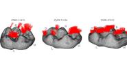 Учени разкриват функционалната биомеханика на зъбните характеристики и абразиото