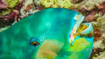 对于鹦哥鱼牙齿的研究或将开启生物材料研发的新思路