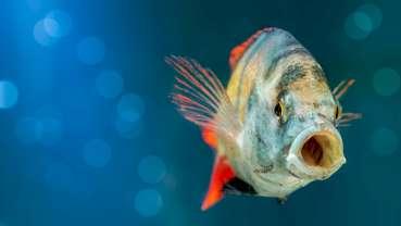 Oral organs of fish capable of tissue regeneration