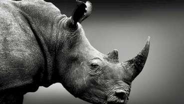 Naukowcy wydobywają obszerne dane z 1,77-milionowego zęba nosorożca